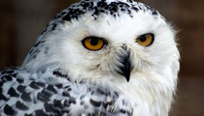 Harry Potter Sparks Illegal Owl Trade in Indonesia