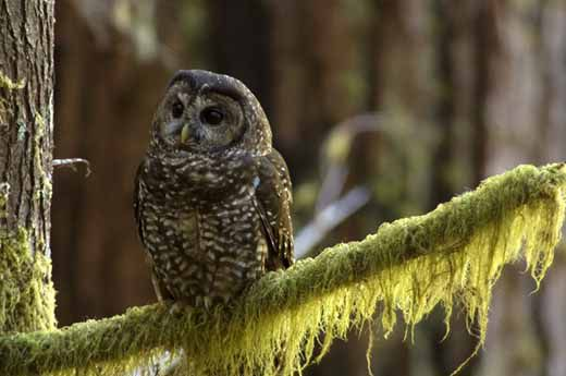 the spotted owl s nemesis science smithsonian