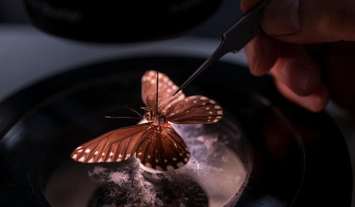 New Butterfly Named After Female Naturalist