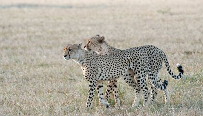 "How Cheetahs ""Spot"" Each Other"