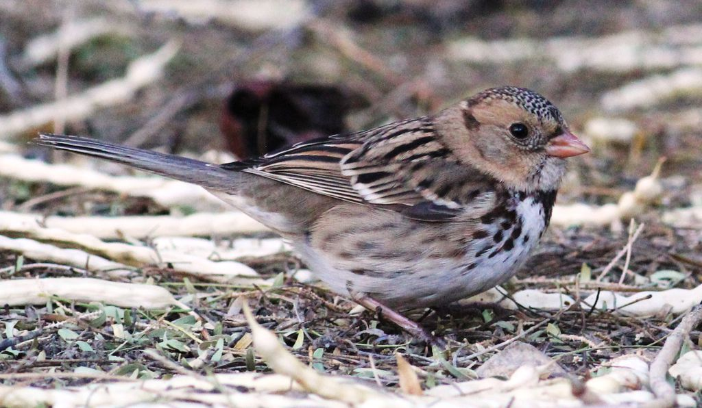 Christmas Bird Count data first flagged the decline of Harris's sparrow.