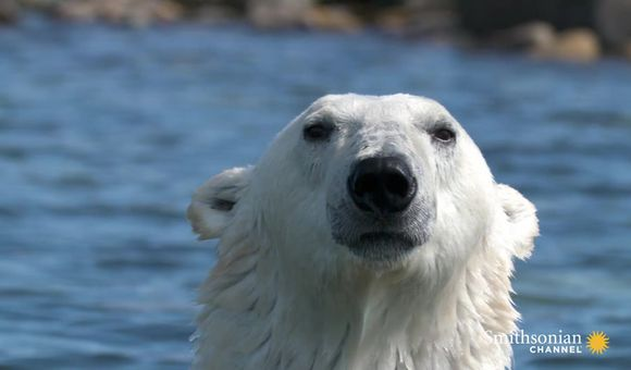 Preview thumbnail for video'Polar Bear Goes After a Young Beluga Calf