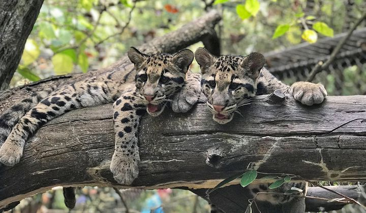 Clouded leopard cubs Jilian and Paitoon made their debut at the Smithsonian's National Zoo in September 2019.
