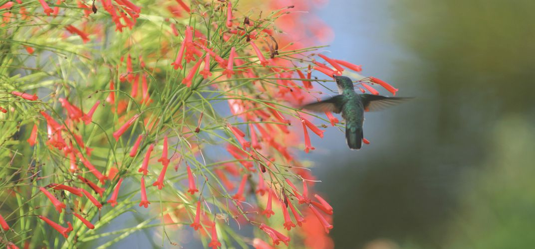 Hummingbird found in a Caribbean garden