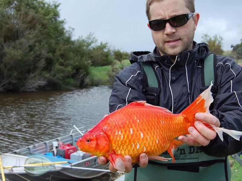 Ginormous goldfish are invading Australian rivers