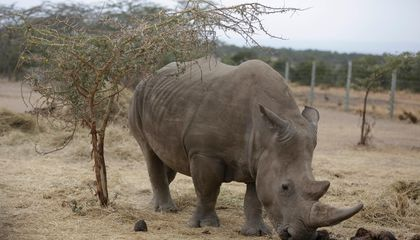 Can the Northern White Rhino Be Brought Back From the Brink of Extinction?