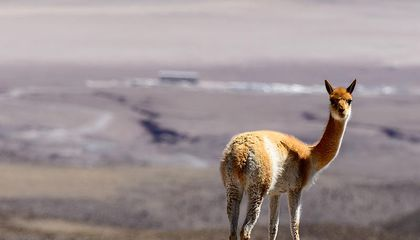 Poachers Are Killing Andean Camels for Their Wool
