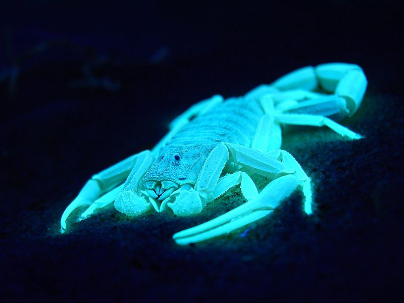 Scorpions are among the animals that fluoresce.