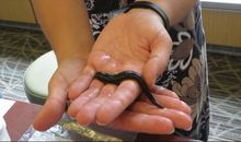 This Smithsonian Scientist is on a Mission to Make Leeches Less Scary