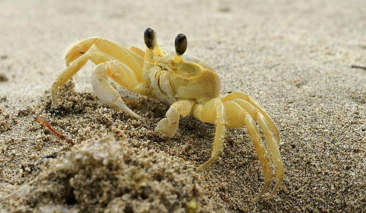Ghost Crabs Use Teeth in Their Stomachs to Growl