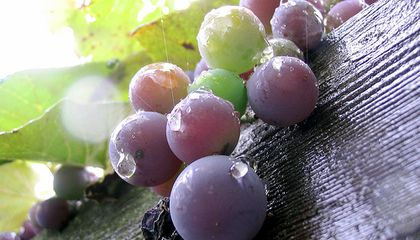Can Pepper Save Wine Grapes?