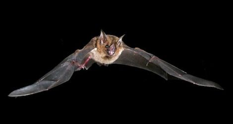 bats stretch their tendons