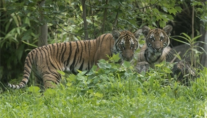 A Tiger in the Bronx Zoo Tested Positive for COVID-19