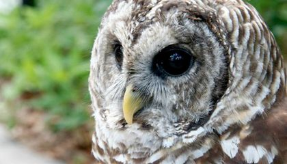 Solving the Mystery of Owls' Head-Turning Abilities
