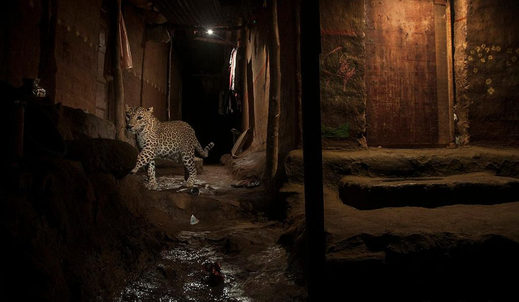 A wild leopard takes a nightime stroll through Sanjay Gandhi National Park, a protected area in the northern part of Mumbai, India, in September 2016