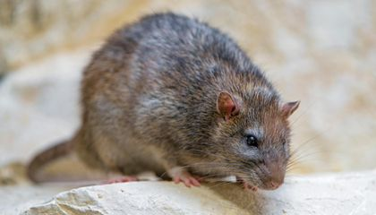Urban Rats Enjoy Richer, More Reliable Diet Than Their Rural Counterparts