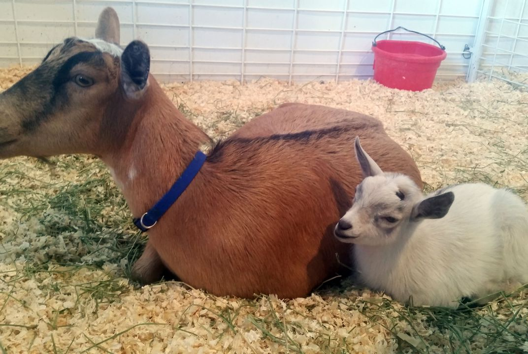 """Kid""-napping ends when baby goat is reunited with its mother"