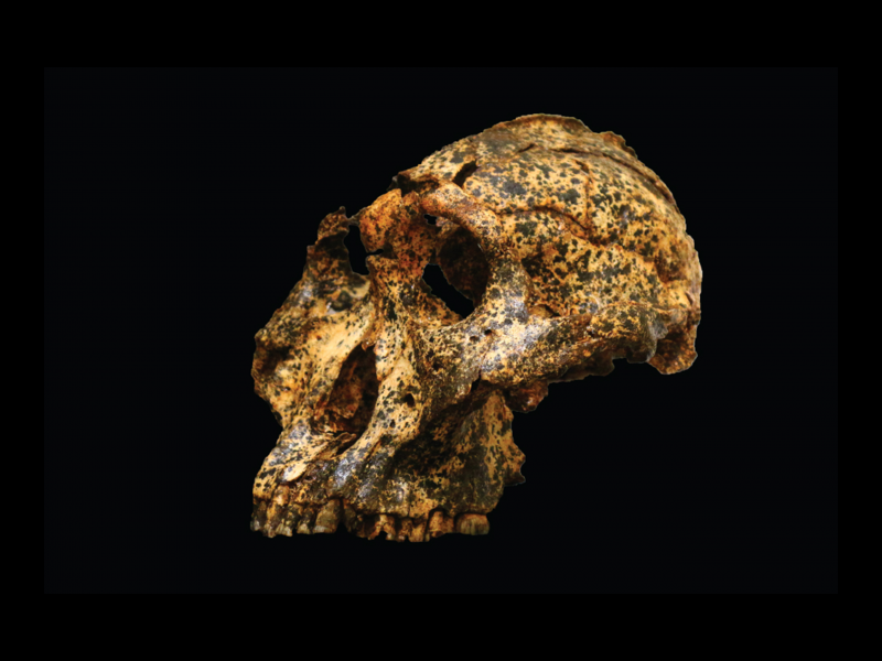 Image of the excavated skull on a black background. The skull has deep eye sockets, large cheekbones, and juts forward. The bottom half of the jaw is missing. The skull is brown and tan with specks of dirt engrained in it.