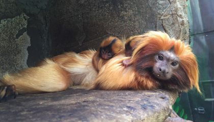 National Zoo Reports Death of Infant Golden Lion Tamarin