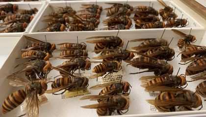 The National Museum of Natural History's entomology collection has many Asian giant hornets. Recently, the collection grew with new specimens from an eradicated nest in Washington State. (Matthew Buffington, USDA-ARS)