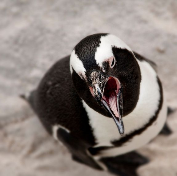 14 Fun Facts About Penguins | Science | Smithsonian
