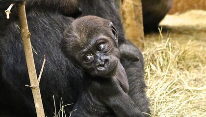At Nearly Four Months Old, the Zoo's Youngest Gorilla Has Begun to Show His Rambunctious Roots