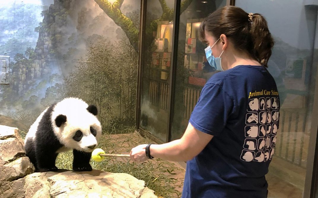 An animal keeper points a training tool (a stick topped with a colorful ball) at a giant panda cub standing on a rock
