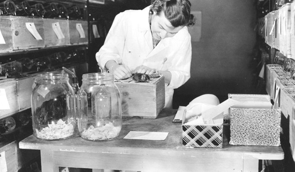 Scientist Margaret Dickie in a mouse room at JAX in 1951. Jax was founded in 1929 — today, it employs more than 2,200 people and has several United States facilities as well as one in Shanghai.
