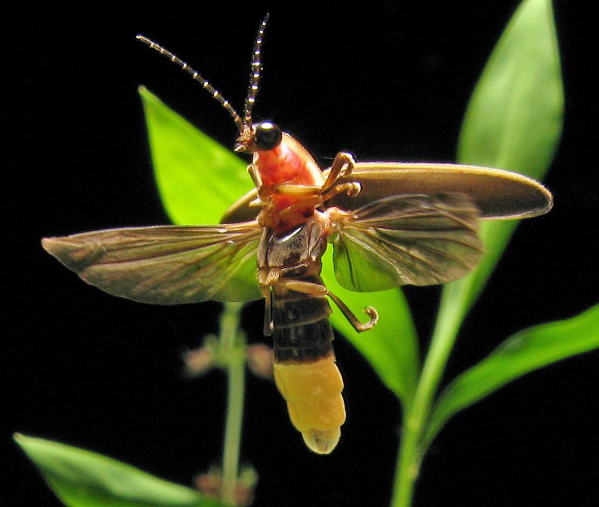 14 Fun Facts About Fireflies | Science | Smithsonian