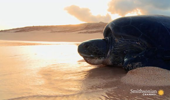 Preview thumbnail for video'A Hunting Ban Is Finally Helping Green Sea Turtles Thrive