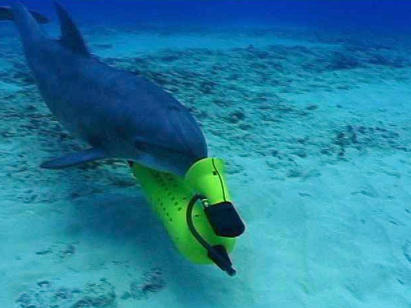 mine hunting dolphins will help researchers transfer the remaining creatures into marine sanctuaries - Pics Of Dolphins