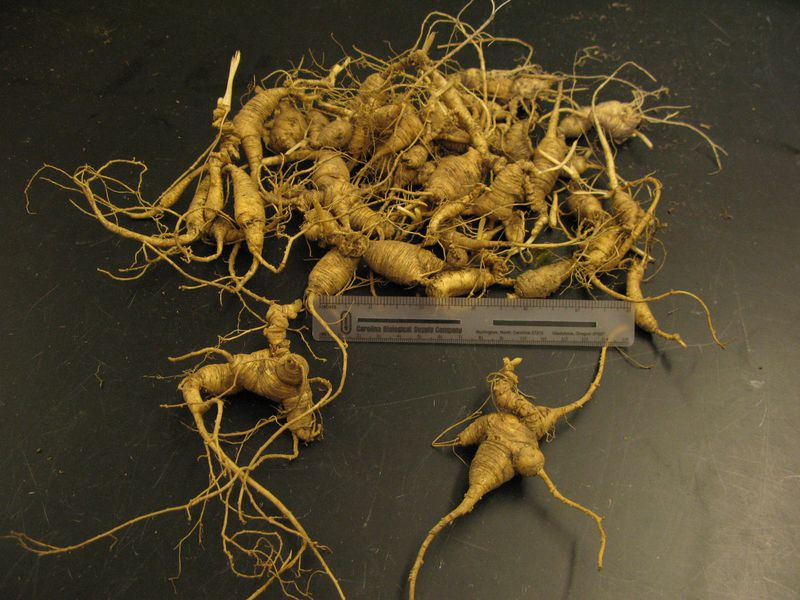 Ginseng In Illinois Map.The Fight Against Ginseng Poaching In The Great Smoky Mountains