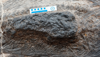 This 15-Foot Ichthyosaur Died With a 13-Foot Meal in Its Stomach