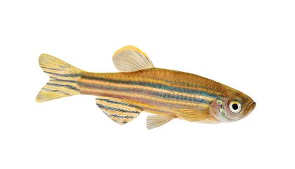 Could the Tiny Zebrafish Teach Us to Cure Blindness?