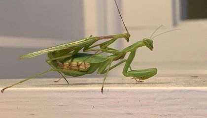 Male Mantises Wrestle to Escape Cannibalistic Females