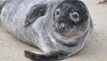 Image: Seal removed from airport runway in northern Alaska