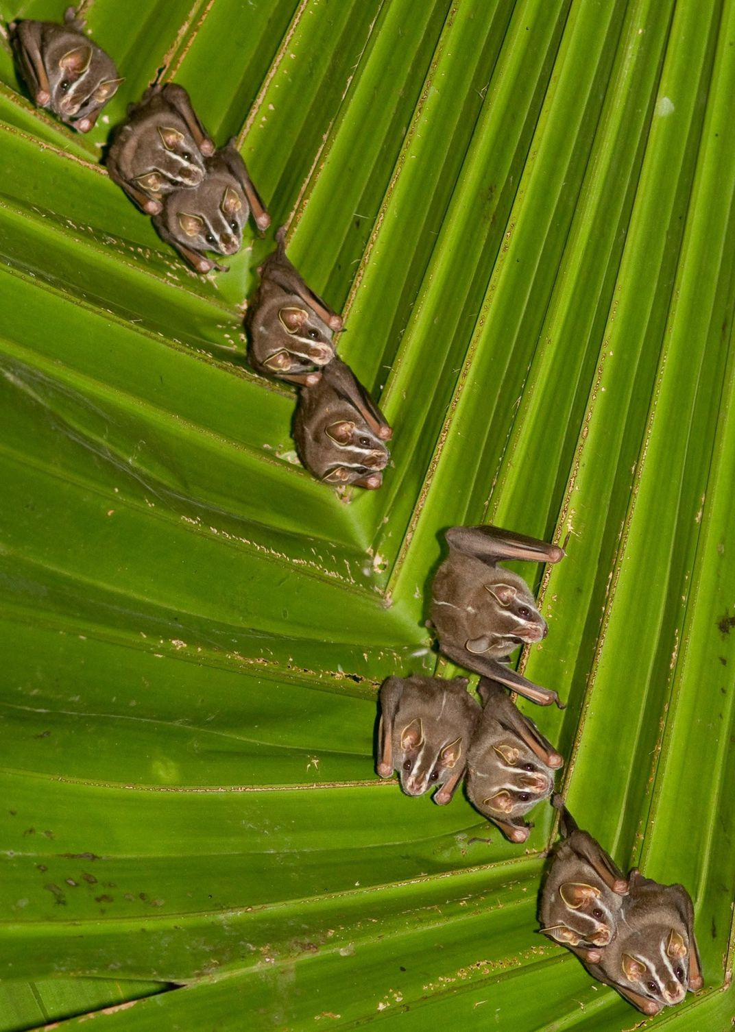 Small brown bats in the ridges of a green leaf.