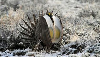 Dispatch from AAAS—The Greater Sage Grouse Fembot