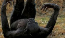 Bonobos have a playful, gentle manner
