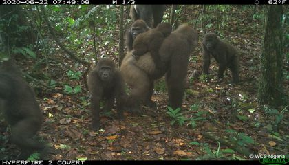 Images Offer a Rare Glimpse of Cross River Gorillas With Their Babies
