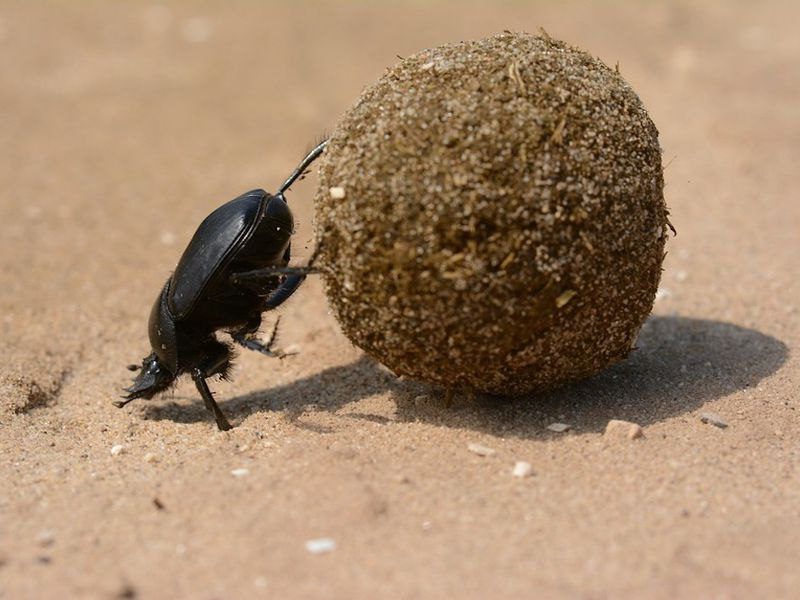 all praise the humble dung beetle science smithsonian