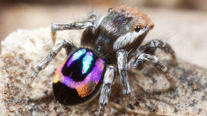 How Peacock Spiders Make Rainbows On Their Backsides Smart