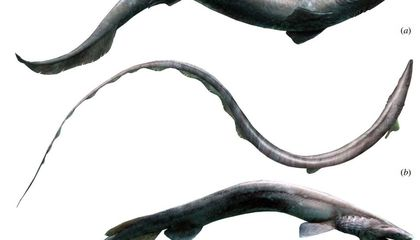 This Ancient Shark Looked Like an Eel and Swallowed Its Prey Whole