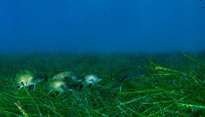 Seagrass Is Harmed by Noise Pollution