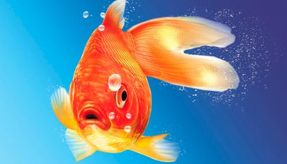 Colorado Lake Teems with Feral Goldfish