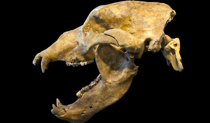 Ice Age Humans Contributed to Cave Bear Extinction