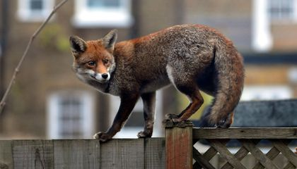 Sole-Searching, Shoe-Swiping Fox Caught in Germany