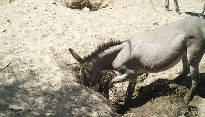 Wild Donkeys and Horses Dig Wells That Provide Water for a Host of Desert Species