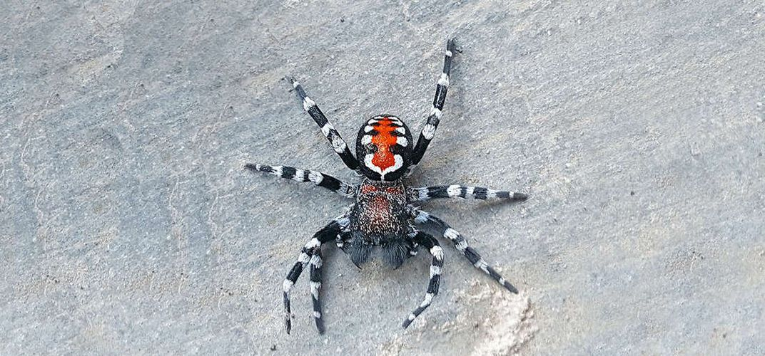 Caption: 'Joker' Spider Named After Joaquin Phoenix