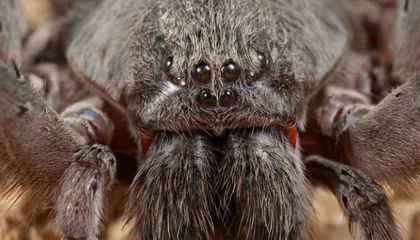Huge New Spider Species Discovered in Mexican Cave